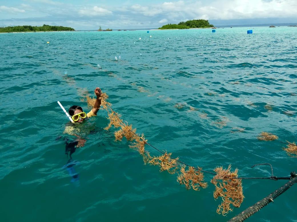 Pulau Wunga sebagai Pusat Pembibitan Budidaya Rumput Laut